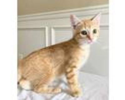 Adopt Chester Kitten a Orange or Red Domestic Shorthair / Mixed (short coat) cat