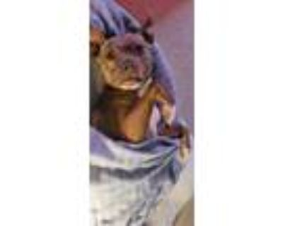 Adopt DRAKO a Tan/Yellow/Fawn - with White American Pit Bull Terrier / Mixed dog