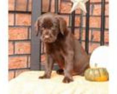 Full Labrador Retriever puppies AKC.