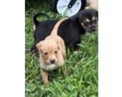 Adopt Samson a Labrador Retriever