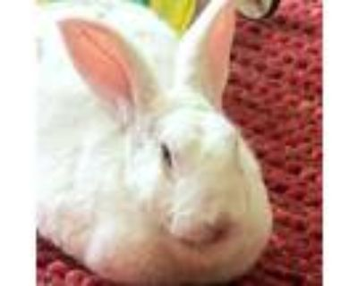 Adopt Precious a Other/Unknown / Mixed rabbit in Richmond, CA (31947710)