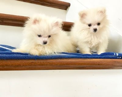Pomeranian Puppy for Sale - Tiny Teacup