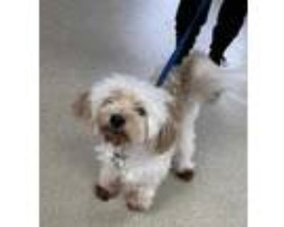 Adopt 47929610 a Tan/Yellow/Fawn Havanese / Mixed dog in Fort Worth