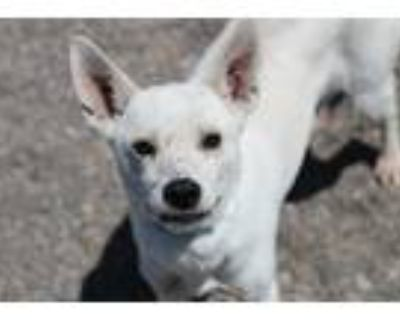 Adopt Ducky a White Husky / Terrier (Unknown Type, Medium) / Mixed dog in