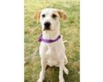 Adopt Mary Gold a Hound, Labrador Retriever