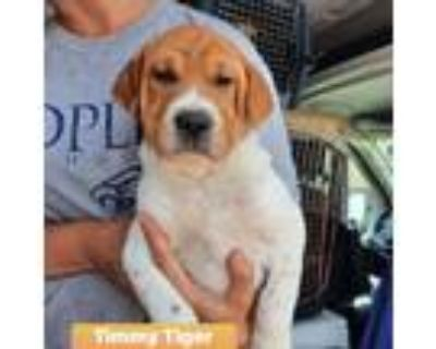 Adopt Timmy Tiger a Brown/Chocolate Shar Pei / Beagle / Mixed dog in Mission