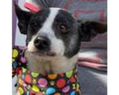 Adopt Kareeoke a White - with Tan, Yellow or Fawn Rat Terrier / Mixed dog in