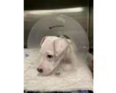 Adopt NASH a Pit Bull Terrier, Mixed Breed