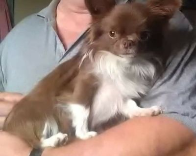 ISO Long Coat Female Chihuahua in AZ