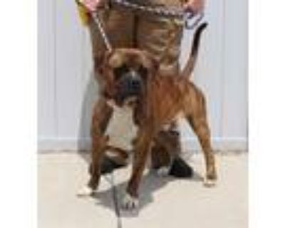 Adopt GINGER SALAD a Brindle Mastiff / Mixed dog in Louisville, KY (31523527)