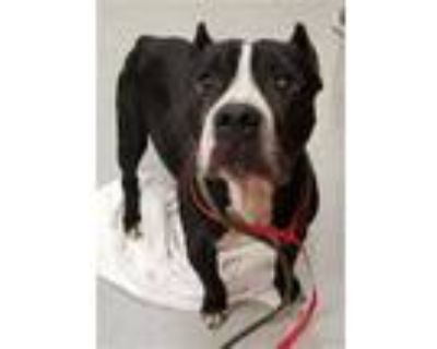 Adopt BERNARD a Black - with White American Pit Bull Terrier / Mixed dog in