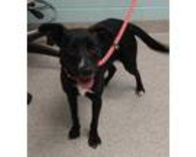 Adopt Miley a Black Labrador Retriever / Mixed dog in Noblesville, IN (32116885)