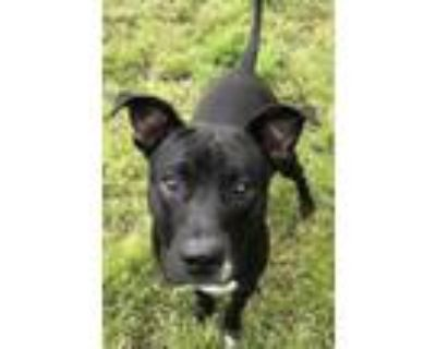 Adopt MHKai a Black - with White American Pit Bull Terrier / Mixed dog in