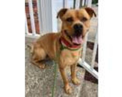 Adopt Ritz a Labrador Retriever, Boxer