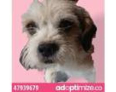 Adopt 47939679 a Brown/Chocolate Border Terrier / Mixed dog in El Paso