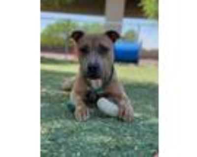 Adopt Moose a Tan/Yellow/Fawn American Pit Bull Terrier / Mixed dog in El Paso