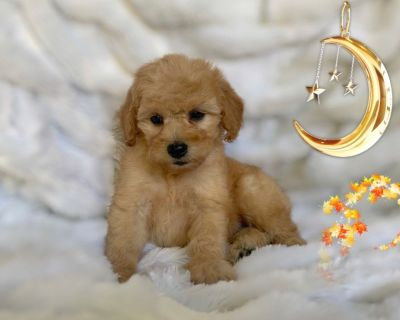 BEAUTIFUL MALTIPOO PUPS, MALTESE MIXED WITH POODLE
