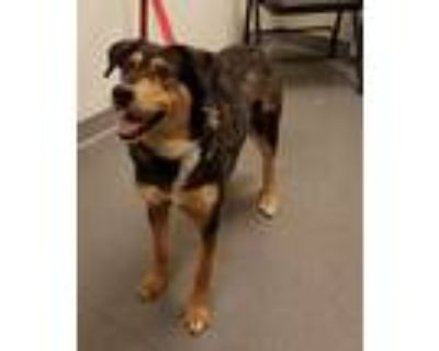 Adopt Penelope a Shepherd (Unknown Type) / Siberian Husky / Mixed dog in
