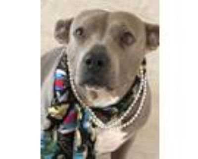 Adopt Libby a American Staffordshire Terrier, Pit Bull Terrier
