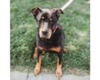 Adopt Cassie a Black Rottweiler / Mixed dog in Belton, MO (32304884)