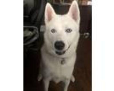 Adopt Ryi a White Husky / Akita / Mixed dog in Loganville, GA (31615750)