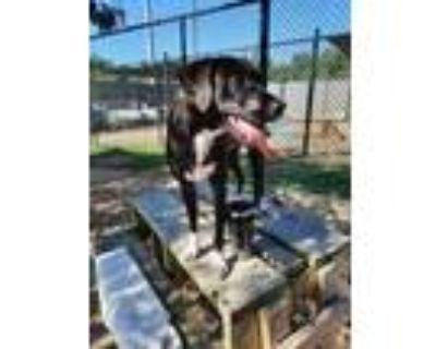 Adopt Kash a Black Labrador Retriever / Mixed dog in Chesapeake, VA (31935389)