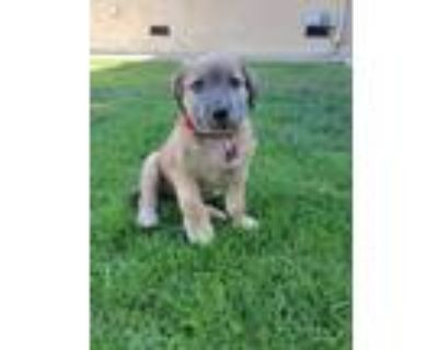 Adopt Ryder a Tan/Yellow/Fawn Staffordshire Bull Terrier / Pit Bull Terrier /