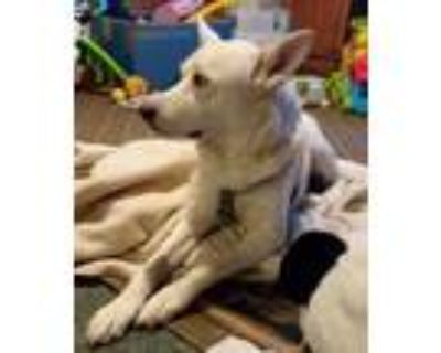 Adopt Lucien a White - with Tan, Yellow or Fawn Shepherd (Unknown Type) / Husky