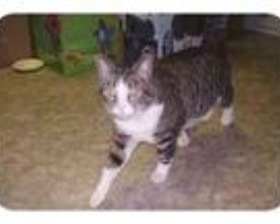 Adopt Prince William a Tiger Striped Domestic Shorthair (short coat) cat in Dale