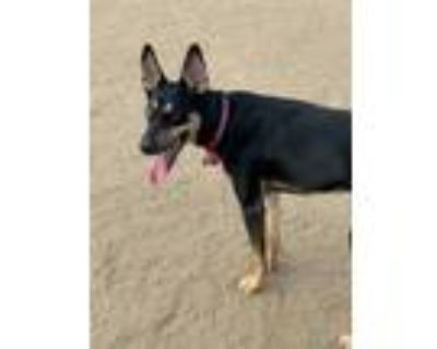 Adopt Stormie a Black - with White Doberman Pinscher / Husky / Mixed dog in Los