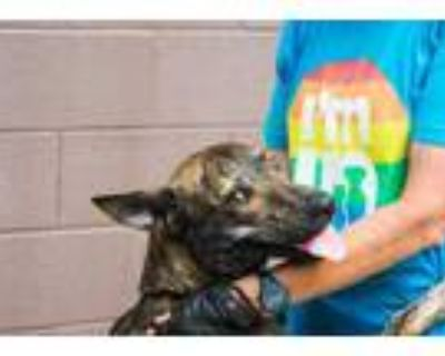 Adopt Vintage a Brindle Mixed Breed (Large) / Mixed dog in Chamblee