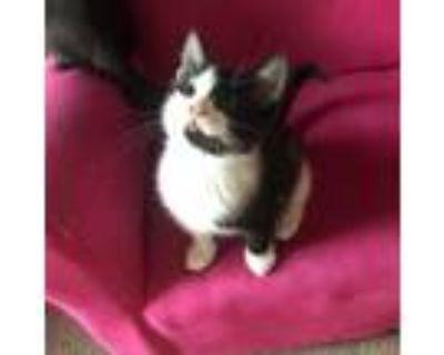 Adopt Harley a All Black Domestic Mediumhair / Mixed cat in Tecumseh