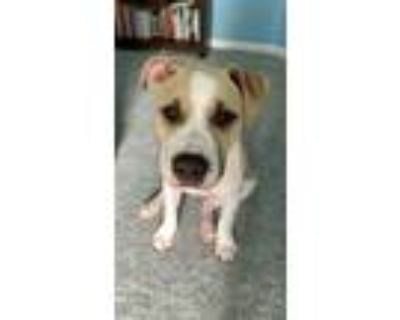 Adopt Axel a Tan/Yellow/Fawn - with White American Pit Bull Terrier / Mixed dog
