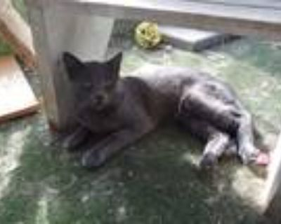Adopt Mystery a Gray or Blue Russian Blue (short coat) cat in indianapolis