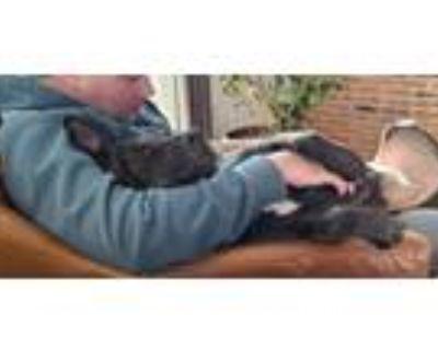 Adopt Frankie (Short Video) a Labrador Retriever, Shepherd