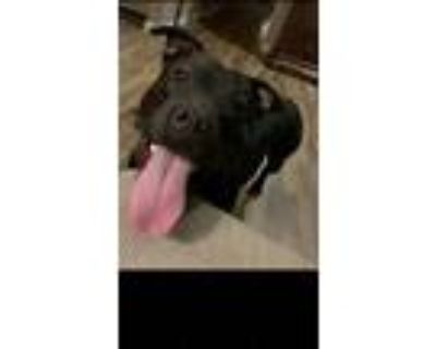 Adopt Karma a Black - with White American Pit Bull Terrier / Mixed dog in
