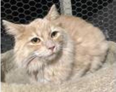 Kiara, Domestic Longhair For Adoption In Lathrop, California