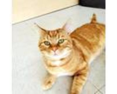 Adopt Reginald a Orange or Red Tabby Domestic Shorthair / Mixed cat in