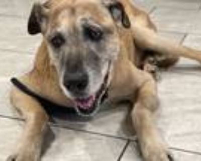Adopt Wilmer a Tan/Yellow/Fawn - with White Hound (Unknown Type) / Shepherd