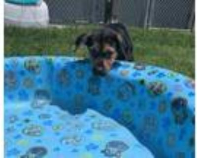 Adopt King Arthur a Black Rottweiler / Shepherd (Unknown Type) / Mixed dog in
