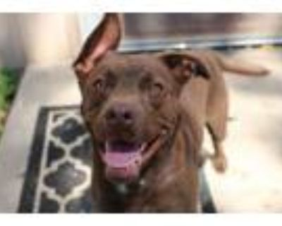 Adopt Snickers a Terrier
