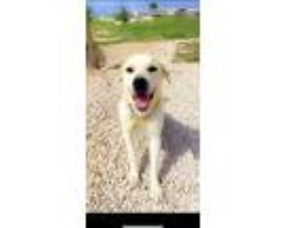 Adopt Lacky a White - with Brown or Chocolate Great Pyrenees / Golden Retriever