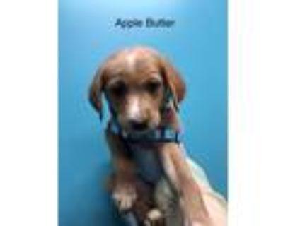 Adopt Apple butter a Labrador Retriever dog in Merrifield, VA (32108456)