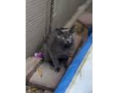 Adopt Atticus a Gray, Blue or Silver Tabby Russian Blue (short coat) cat in