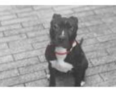 Adopt Pluto a Black American Pit Bull Terrier / Mixed dog in New Orleans