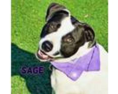 Adopt Sage a Pointer, Border Collie