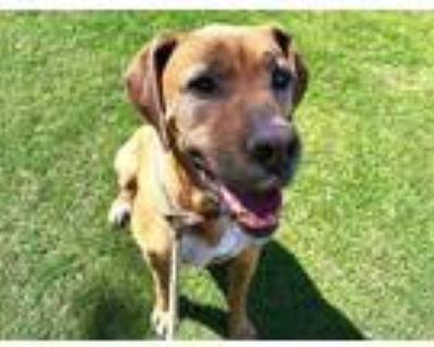 Adopt SCOOBY a Brown/Chocolate Great Dane / Boxer / Mixed dog in Albuquerque