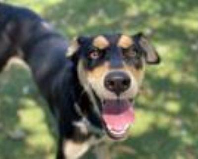 Adopt GOOFY a Doberman Pinscher, German Shepherd Dog
