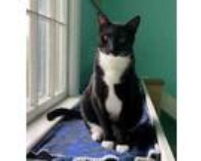 Adopt Teddy a All Black Domestic Shorthair / Domestic Shorthair / Mixed cat in