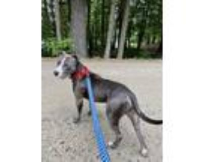 Adopt WILLY a American Staffordshire Terrier